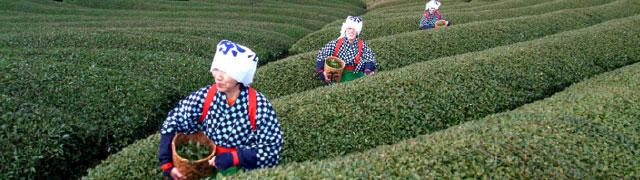 Tea farming in the Uji region, in Kyoto